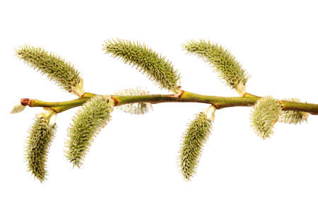 A branch of a blossoming willow isolated on a white background.