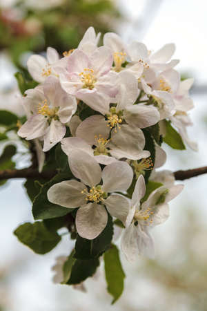 A branch of a blossoming apple tree in a spring garden.