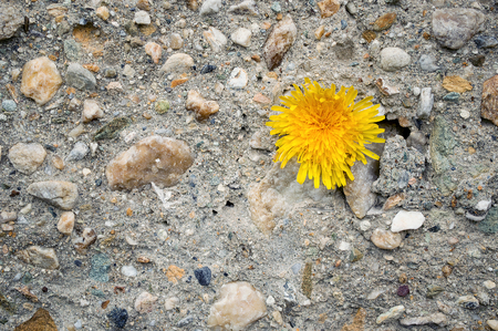Concrete wall with stones and yellow dandelion