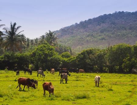 Grazing Cows in Goa, India