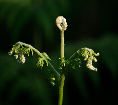 Lush Fern Buds from Munnar in India