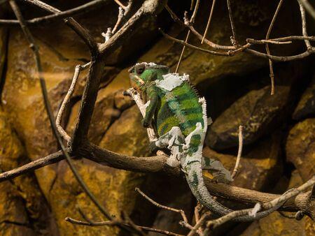 Chamaleon shedding skin