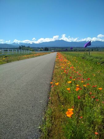 Flowers on the side of a road next to a lavender field in Washington, US
