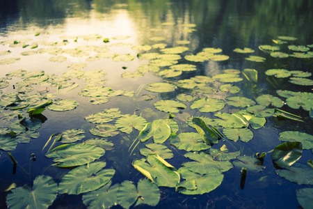 lily pads: Lily pads in a lake with shallow depth of field
