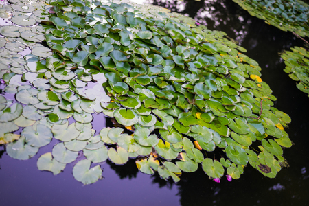 lily pads: Lily pads in a pond in Barcelona. Stock Photo