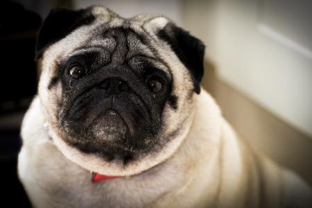 A fat pug looking up at the camera. Reklamní fotografie