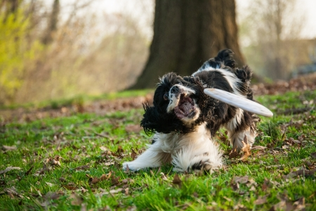 grabing: Photograph of a Cocker Spaniel attempting to catch a frisbee