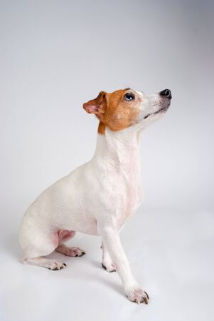 Photograph of a Jack Russell Terrier looking off camera. photo