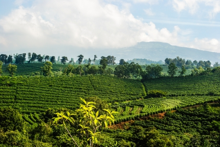 costa rican: Photogrpah of a Costa Rican coffee plantation located high in the mountains.  Example of intensive agricultural practice.