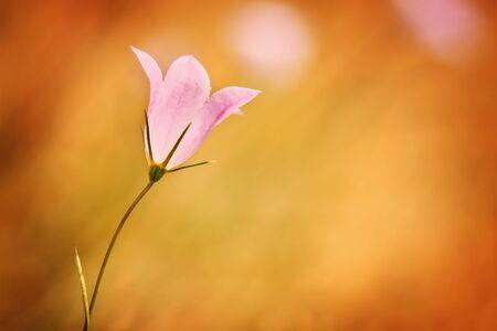 bellflower: Violet bell-flower in the garden