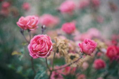 rose bush: Beautiful roses in the rose bush Stock Photo