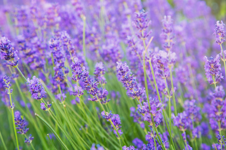 lavendin: Beautiful lavender flowers in sunlight