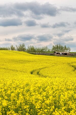 Beautiful blossoming yellow rapeseed field with dramatic stormy sky