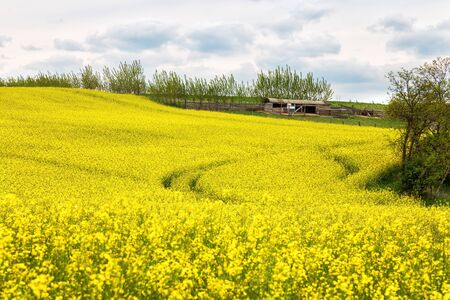 Beautiful ripe rapeseed field on a spring day
