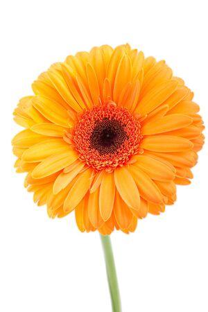 Orange gerber isolated on white background Stock Photo - 4579798