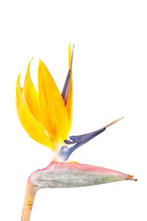 Bird of paradise flower, Strelitzia, isolated on white background photo
