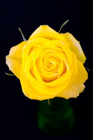 Yellow rose isolated on black background photo