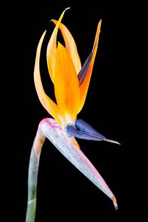 Bird of paradise flower, Strelitzia, isolated on black background photo