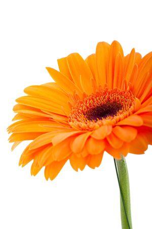 Orange gerber isolated on white background photo