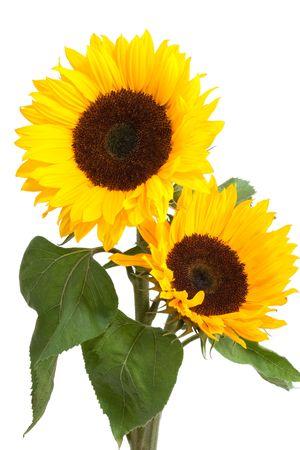 sunflower isolated: sunflowers