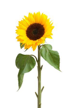 yellow stem: sunflower