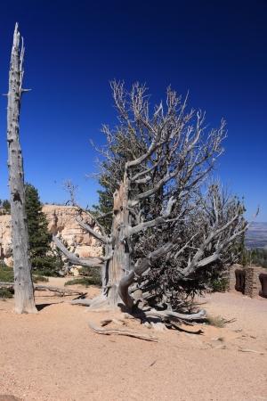 bristlecone: Old bristlecone pine in bryce canyon Stock Photo