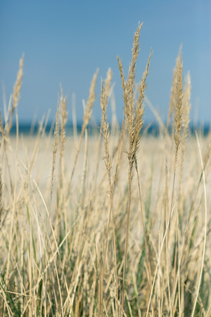 Golden beach grass