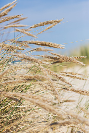 Sunny beach grass Stock Photo
