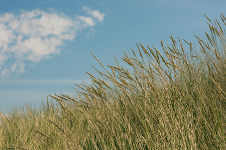 Beach grass and blue sky in the summer