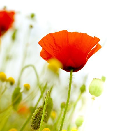 floral design, decoration flowers, red poppies - angle of page, isolated on white  photo