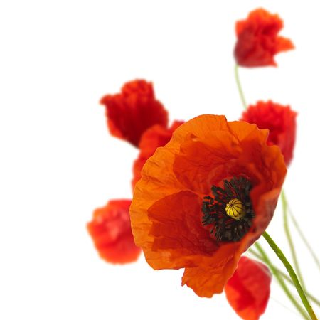 poppy flowers: red poppies isolated on a white background in the corner of a page - Floral border