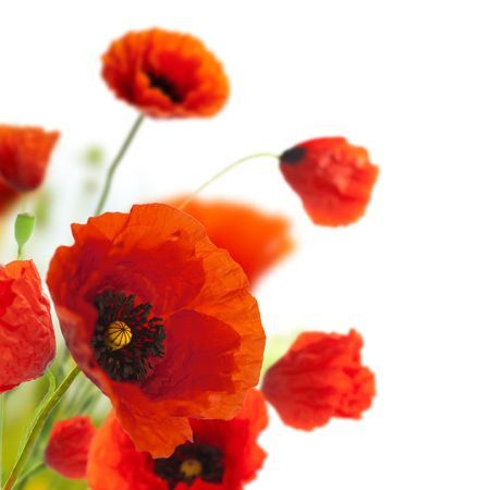 red poppies on green field: red poppies isolated on a white background in the corner of a page - Floral border