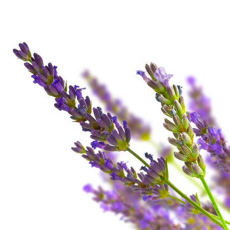 sprigs: bunch of lavender on blurred background