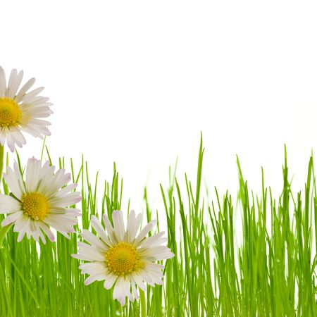 yellow daisy: three white and yellow flowers and a green grass isolated on a white background - border bottom of a page