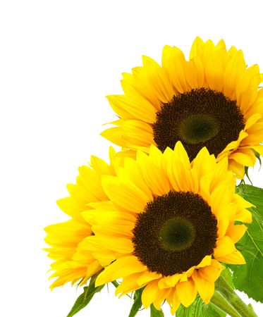 sunflower isolated: three sunflowers isolated on a white background, right corner of a page