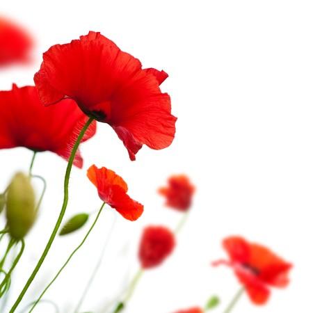 esquineros de flores: muchos amapolas rojas aislados en un �ngulo de fondo blanco de una p�gina