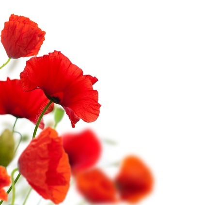 blurr: summer scene, many red poppies isolated over a white background angle of a page. focus on one poppy, the other are blurred