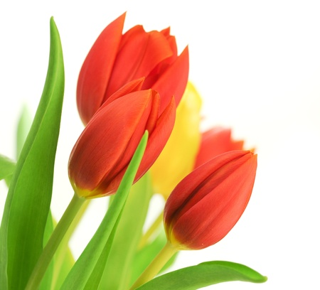 Border of red tulips over a white background and one yellow tulip, with leaves, flowers are placed in the angle of the image photo