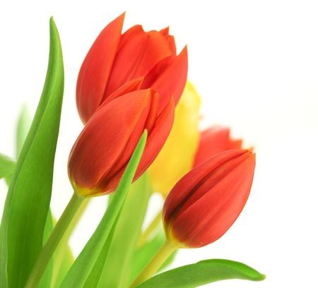 tulipan: Obramowanie czerwony tulipanów nad białym tle i jeden tulipan żółty, z liśćmi, kwiaty są umieszczane w kąt obrazu