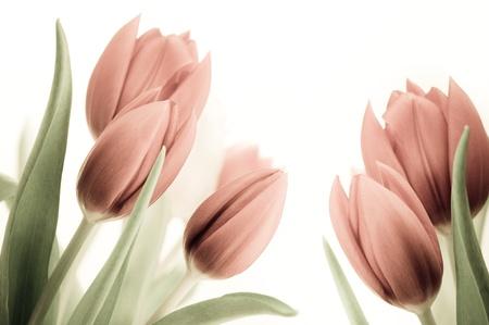 Imagen antigua y cosecha de tulipanes sobre fondo blanco, retro flores rosas, con hojas. Foto de archivo