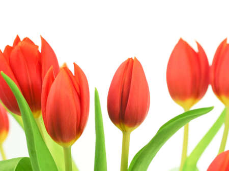 flowering  plant: Tulips over a white background with red tulips  with leaves