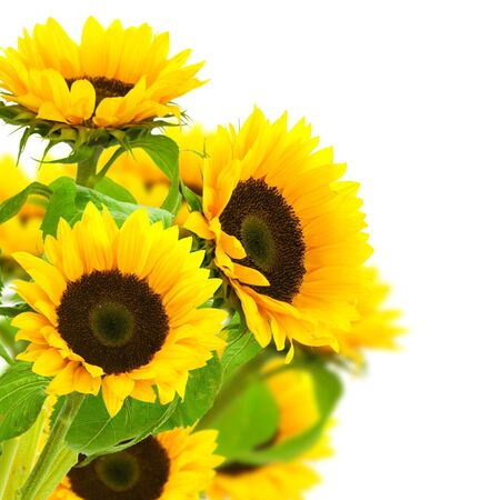sunflowers border over a white background photo