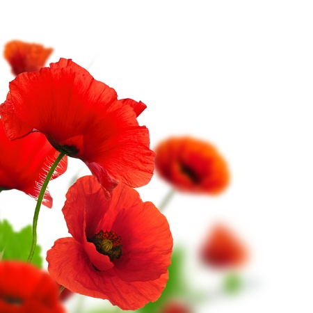 amapola: Amapolas rojas sobre un fondo blanco. Frontera de diseño floral con un ángulo de la página. Detalle de las flores con el enfoque y el efecto de desenfoque