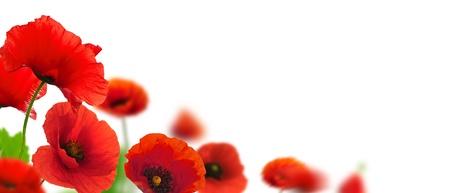 白い背景の上の赤いケシ。ボーダー フラワー デザイン ページの角度。焦点とぼかしの効果を持つ花のクローズ アップ