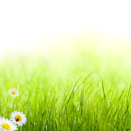 green grass with daisy and ladybug on the left side of the picture. there is blur at the background photo