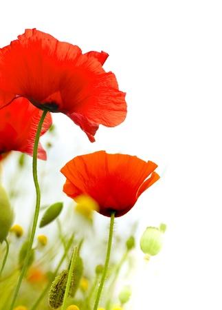 amapola: amapolas de arte sobre un fondo blanco, diseño floral, verde y rojo, marco Foto de archivo