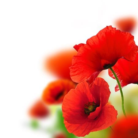 coquelicots fond blanc, motif floral vert et rouge, cadre