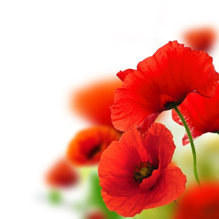 flowers field: poppies white background, green and red floral design, frame Stock Photo