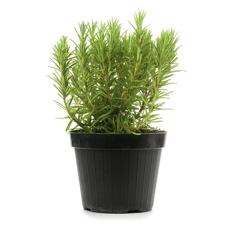 officinalis: rosemary inside a black pot over a white background, rosmarinus officinalis
