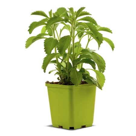 stevia plan into a bucklet, white background square image Stock Photo